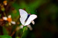 Great Southern White Butterfly II