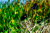 Double Red-Winged Blackbird